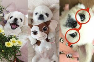 Pekińczyk z Seulu o imieniu Śnieżka podbija Instagram! (ZDJĘCIA)