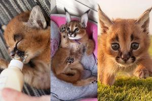 Małe karakale: najsłodsze koty na świecie? (ZDJĘCIA)