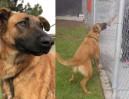 Porzucony pies cieszy się na widok dawnych właścicieli. Przyszli do schroniska po nowego... (FOTO)
