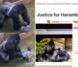 Internauci protestują przeciwko zastrzeleniu goryla na oczach turystów. Chronił dziecko, które wpadło na jego wybieg!