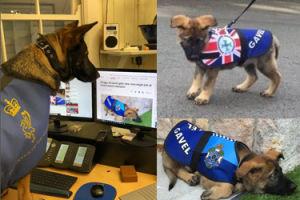 """Wyrzucony z policji, przygarnięty przez Biuro Gubernatora - oto Gavel, oficjalny """"rządowy"""" pies! (ZDJĘCIA)"""
