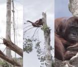 Przerażony orangutan przytula się do... ostatniego ocalałego drzewa