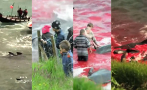 Krwawa rzeź na Wyspach Owczych (Uwaga: drastyczne zdjęcia!)