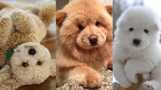 Zobaczcie psy, które wyglądają jak misie (ZDJĘCIA)