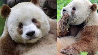 Poznajcie Qizai - jedyną na świecie brązową pandę (ZDJĘCIA)