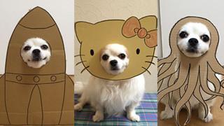 """Chihuahua pozuje w """"kostiumach"""" z tektury (ZDJĘCIA)"""